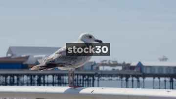 Blackpool Seagull Close Up, UK