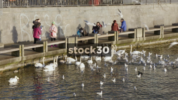 Slow Motion Shot Of Seagulls And Swans On Limmat River In Zürich, Switzerland
