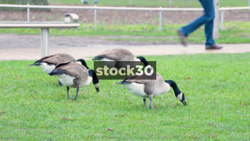 Geese Grazing And A Swan Preening By The River Avon In Stratford-Upon-Avon, UK