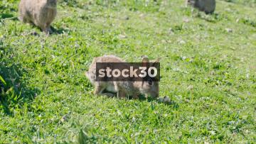 Wild Rabbits Grazing On Grass, UK