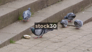 Slow Motion Shot Of Pigeons Eating Bread Then Flying Off