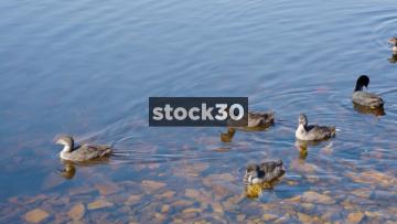 Moorhens In Arnfield Reservoir, Longendale, North Derbyshire, UK