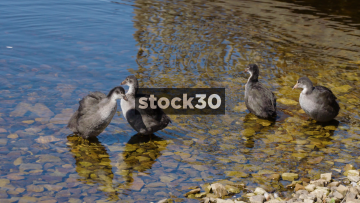 Moorhens On The Bank Of Arnfield Reservoir In Longendale, North Derbyshire, UK
