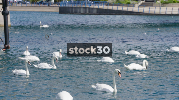 Several Swans On The Marine Lake In Southport, UK
