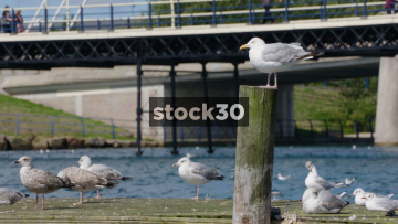 Slow Motion Shot Of Seagulls Perched By Marine Lake In Southport, UK