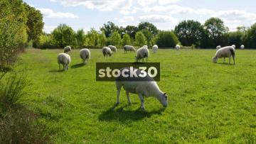 Sheep Grazing In A Field, UK