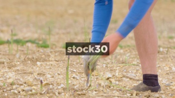 Man harvesting Asparagus, 3 Shots, UK