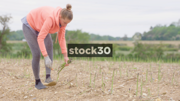 Woman Harvesting Asparagus, Wide And Close Up