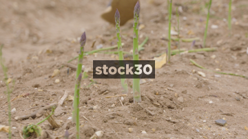 Two Slow Motion Close Up Shots Of Asparagus Being Harvested, UK