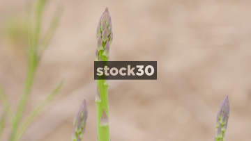 Slow Motion Close Up Shot Of Asparagus In Field, UK