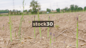 3 Close Up Shots Of Asparagus Growing In Field, UK