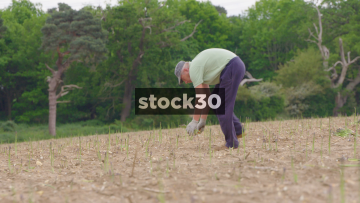Men Harvesting Asparagus In Field, Close Up And Wide Shot, UK