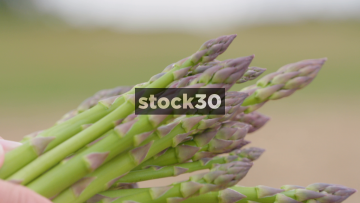 Hands Holding Freshly Cut Asparagus In Field, UK