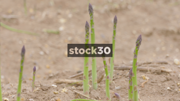 Asparagus Growing In Field, 3 Shots, UK