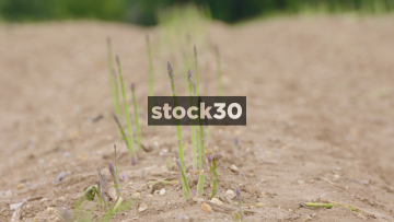 Slow Motion Shot Of Asparagus In Field, UK
