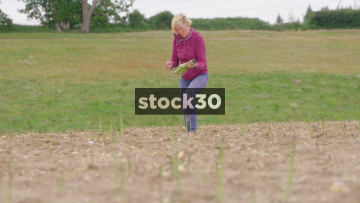 Slow Motion Shot Of Woman Harvesting Asparagus In Field, UK