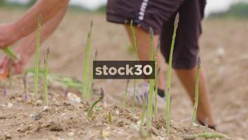 Slow Motion Shot Of Man Harvesting Asparagus, UK