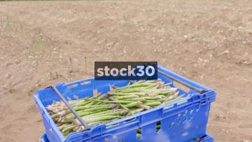Freshly Cut Asparagus, 4 Shots. UK