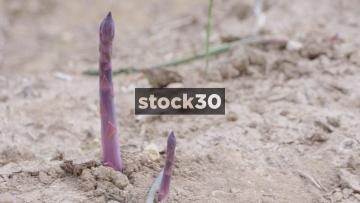 Purple Asparagus Growing In Field, 3 Shots, UK