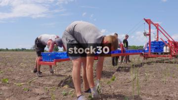 Farm Workers Harvesting Asparagus Behind Tractor In Field, UK