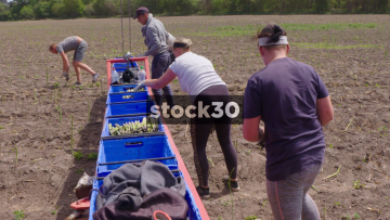 Farm Workers Harvesting Asparagus, View From Arm Of Tractor, UK