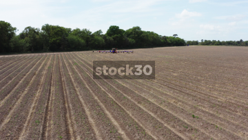 Drone Shot Of Tractor And Workers Harvesting Asparagus On Farm, UK