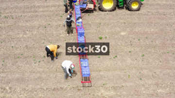 Drone Shot Of Farm Workers Harvesting Asparagus And Loading Onto Tractor, UK