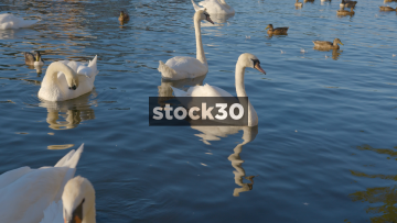 Ducks And Swans On The RIver Thames In Windsor, UK
