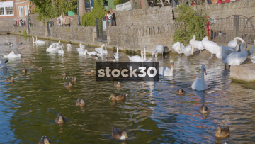 Ducks And Swans Swimming On The River Thames In Windsor, UK