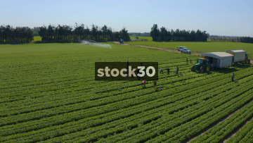 Orbiting Drone Shot Of Farm Workers Harvesting Crops And Loading Onto Tractor, UK