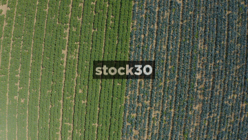 Rising And Rotating Overhead Drone Shot Of Farm Crops In Field, UK