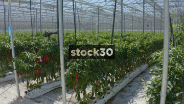 Drone Shot Inside Greenhouse Growing Red Chillies, UK