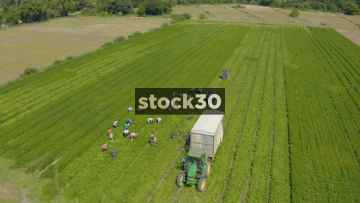 Orbiting Drone Shot Of Workers With Tractor Harvesting Crops In Farm Field, UK