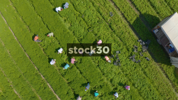 Rotating Overhead Drone Shot Of Workers Harvesting Crops In Farm Field, UK