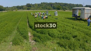 Drone Shot Flying Over Workers Harvesting Crops In Farm Field, UK