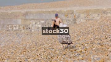 Seagull Walking Around On Brighton Beach, UK