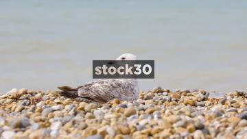 Seagull Sitting On Pebbles At Brighton Beach, UK