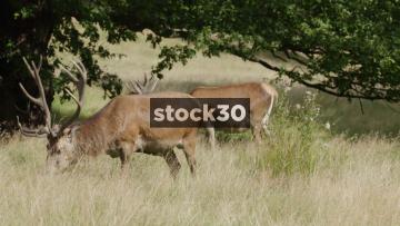 Deer Grazing In Tatton Park, Knutsford, UK