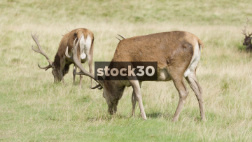 Pair Of Deer Grazing In Tatton Park, Knutsford, UK